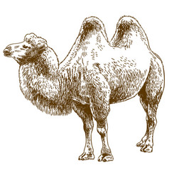 Engraving drawing of camel vector