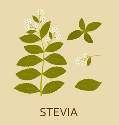 stevia plant with leaves and pods vector image