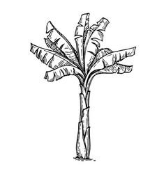Banana palm tree vector
