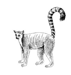 hand drawn lemur isolated on white background vector image