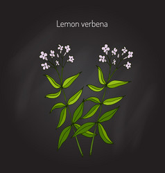 lemon verbena aromatic plant vector image