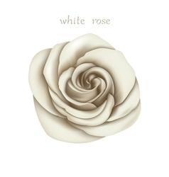 White rose vector image