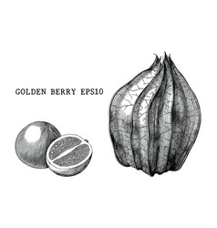golden berry vintage engraving isolated on white vector image