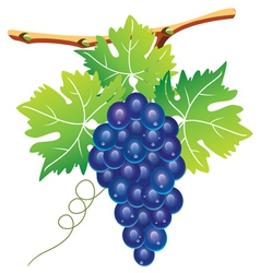 grape cluster vector image vector image