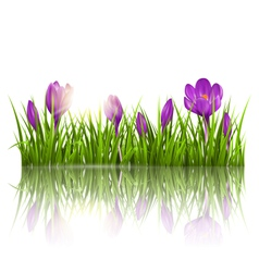 Green grass lawn violet crocuses and sunrise with vector image