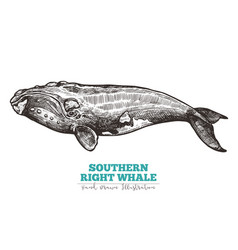 Hand drawn southern right whale vector