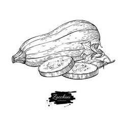 zucchini hand drawn isolated vector image
