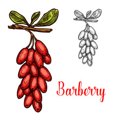 barberry fruit sketch with red berry branch vector image