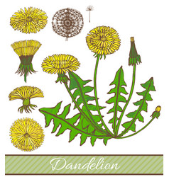 hand drawn colored dandelion vector image vector image