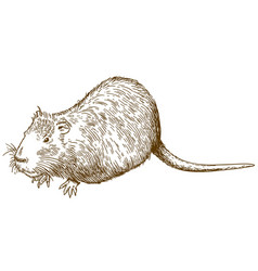 engraving drawing of nutria or coypu vector image