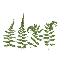 Set of silhouettes of a green forest fern vector