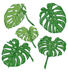 green monstera fronds sketch vector image