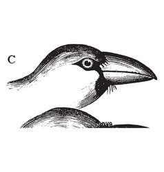 Hawfinch beak vintage vector