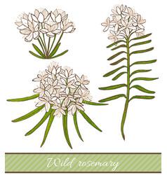 Wild rosemary vector