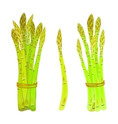 Asparagus spears tied in a bunch vector