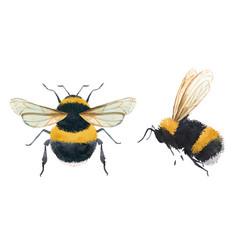 Watercolor bumblebee vector
