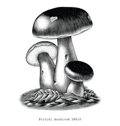 antique engraving porcini mushroom hand draw vector image