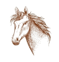 Arabian stallion horse head sketch vector image