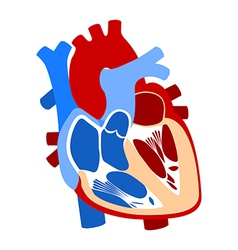 function and definition human heart vector image