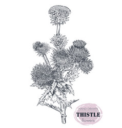 hand drawn thistle or carduus plant leaf vector image
