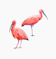 watercolor ibis bird set vector image