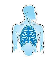 human anatomy rib bones vector image