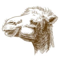 engraving of camel head vector image vector image