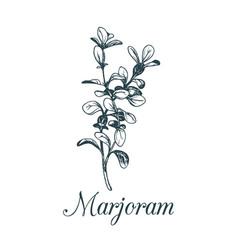 Marjoram isolatedhand vector