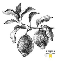 hand drawn branch of lemons vector image vector image