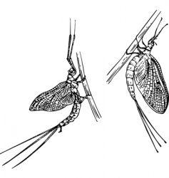 Mayfly vector