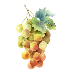 bunch grapes isolated on white background vector image