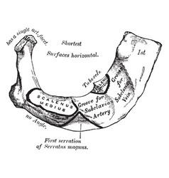First rib vintage vector