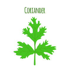 Coriander herbchinese parsley vector