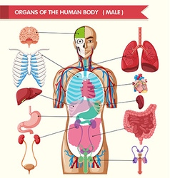 Chart showing organs of human body vector