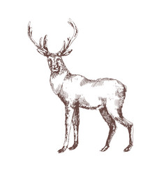 red deer hand drawn with contour lines on white vector image