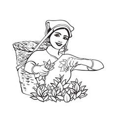 Sketch sri-lanka local woman collecting tea vector