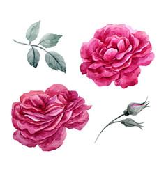 watercolor roses set vector image