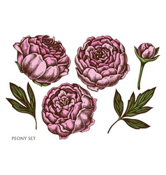 Set hand drawn colored peony vector