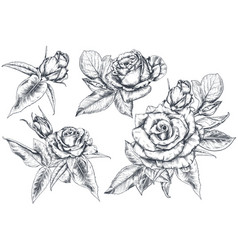 set hand drawn rose flowers and leaves isolated vector image