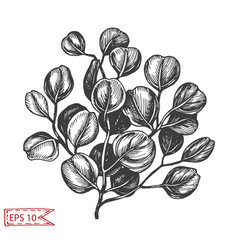 Sketch - hand drawn eucalyptus vector