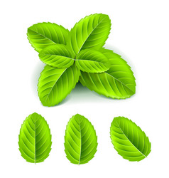 Mint leaves 3d photo realistic set vector