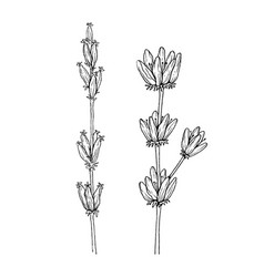 herbal and wild plant lavender vintage botanical vector image