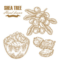 Shea tree branch nuts and butter isolated on vector