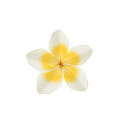 Plumeria white isolated flower vector