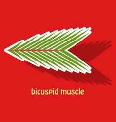 Sticker bicuspid muscle vector
