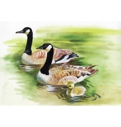 Three Ducks with black Necks Watercolor painting vector image vector image