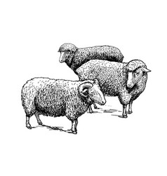 Flock sheep vector