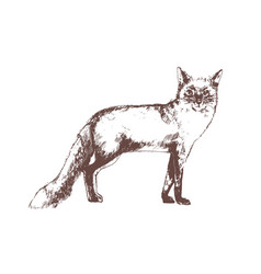 red fox hand drawn with contour lines on white vector image
