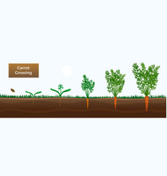 Carrot growth stages banner vector