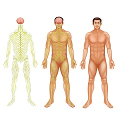 Nervous system of a man vector image vector image